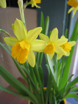 daffodils-small.png